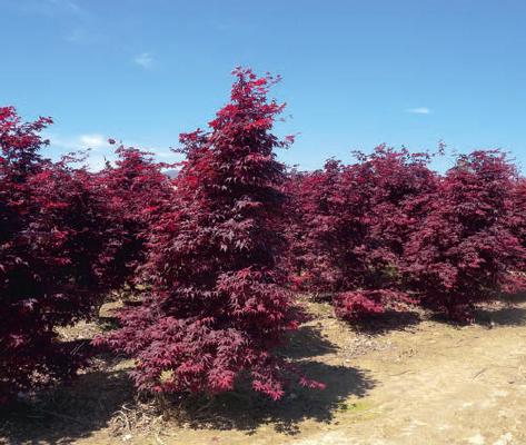 P pini res plessis luzarches acer plessis luzarches val d 39 oise 95 - Arbuste fleur rouge printemps ...